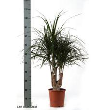 Пересадка одного растения высотой от 0,5 до 1 м