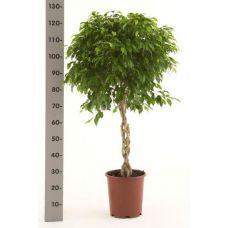 Пересадка одного растения высотой от 1 до 1,5 м
