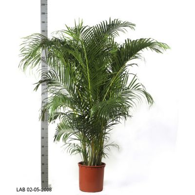 Пересадка одного растения высотой от 2 до 2,5 м