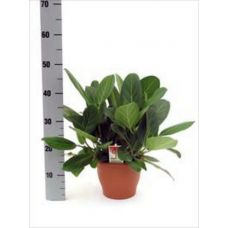 Пересадка одного растения высотой до 0,5 м
