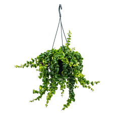 Aeschynanthus rasta