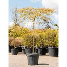 Acer palmatum 'Dissectum Viridis'