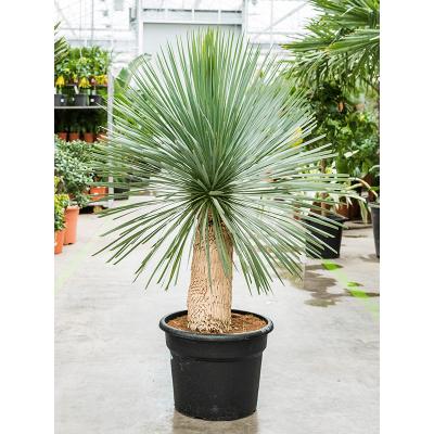 Растение горшечное Юкка/Yucca rostrata