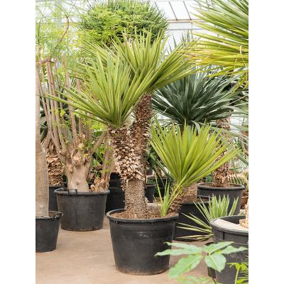 Растение горшечное Юкка/Yucca schidigera