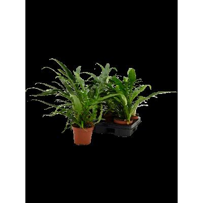 Растение горшечное Аглаоморфа/Aglaomorpha 'Jim' 6/tray