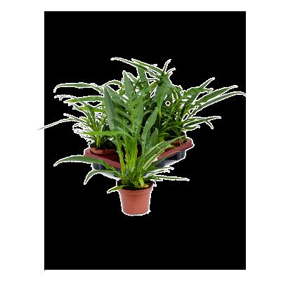 Растение горшечное Аглаоморфа/Aglaomorpha coronans 6/tray