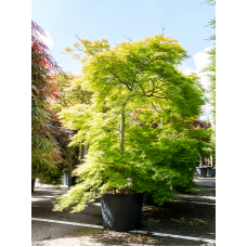 Acer palmatum dissectum rubrifolium