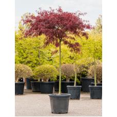 Acer palmatum 'Dissectum Tamukeyama'